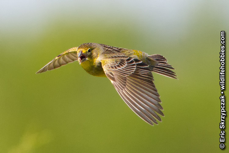 This is a photo of a Yellow-finch - Grassland, Sicalis luteola