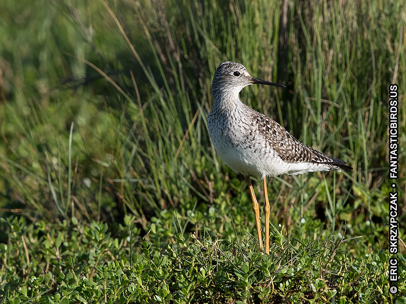 Photograph of the Bird Species: Tringa melanoleuca  <em>