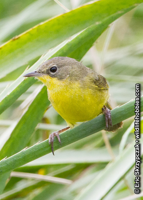 This is a photo of a , Warbler - Yellowthroat - Masked